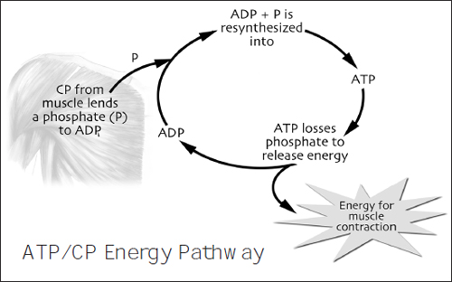 atp cp pathway There are three energy systems for varying activity time frames  whereas the atp-cp system will only produce energy for 10 seconds,.